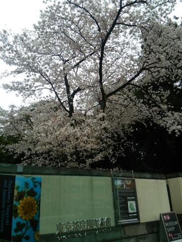 20170408 白金台の桜満開.jpg