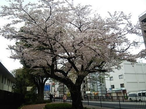 20170408 白金台の桜満開1.JPG