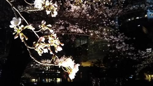 20190323 桜@六本木ヒルズ2.jpg