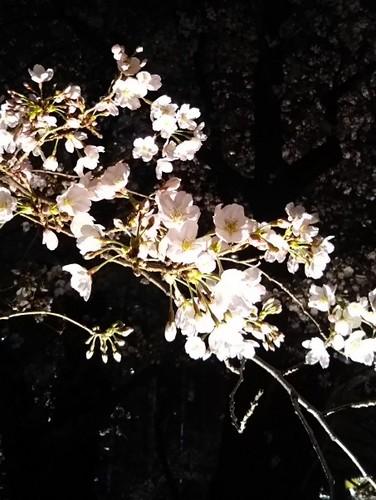 20190323 桜@六本木ヒルズ3.jpg