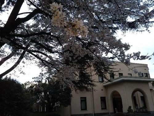 20190331 ワシントンの桜@東京都庭園美術館.jpg