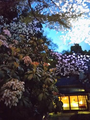 20190331 桜ライトアップ@八芳園3.jpg